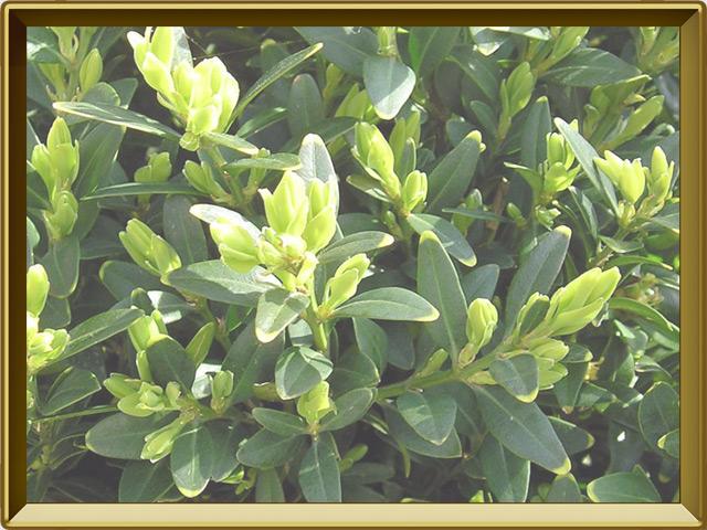 Самшит — растение, фото в рамке №3