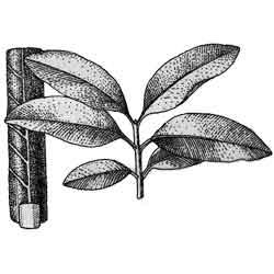 Саподилла — растение, картинка чёрно-белая