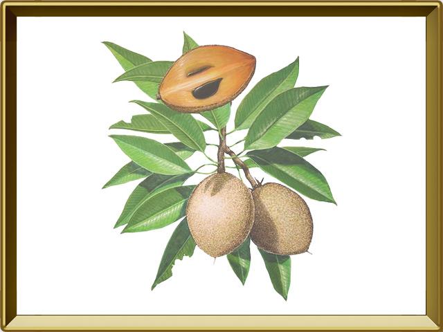 Саподилла — растение, фото в рамке №1