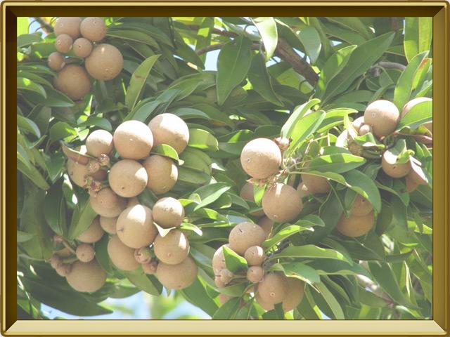 Саподилла — растение, фото в рамке №2