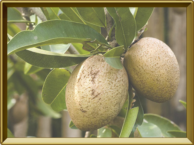 Саподилла — растение, фото в рамке №3