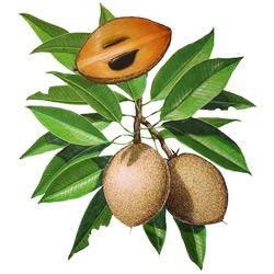 Саподилла — растение, картинка цветная