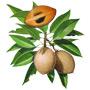 Саподилла — растение