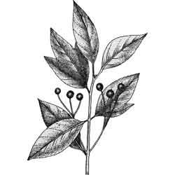 Сассафрас — растение, картинка чёрно-белая