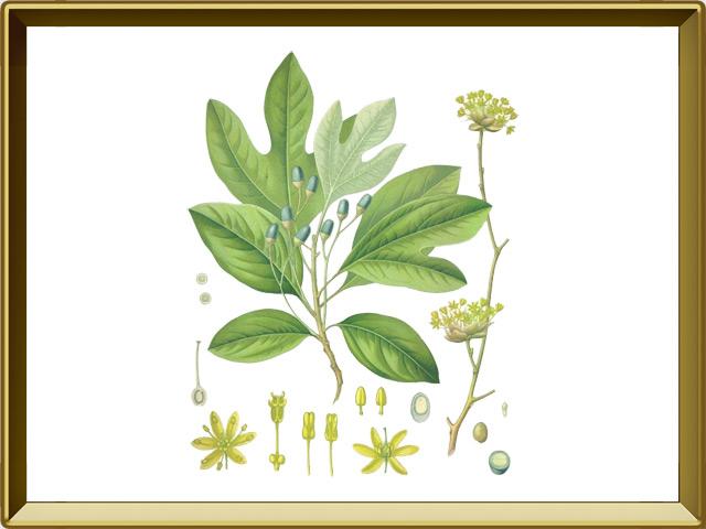 Сассафрас — растение, фото в рамке №1