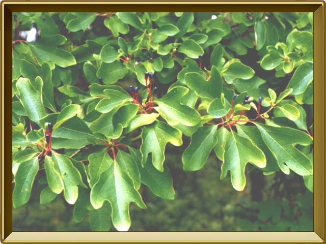 Сассафрас — растение, фото в рамке №2