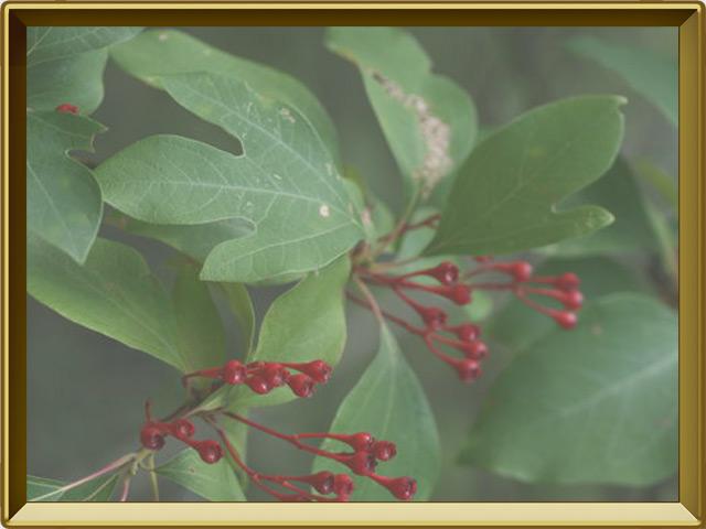 Сассафрас — растение, фото в рамке №3