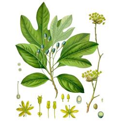 Сассафрас — растение, картинка цветная