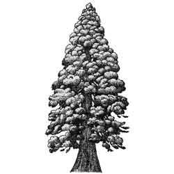 Секвойя — растение, картинка чёрно-белая