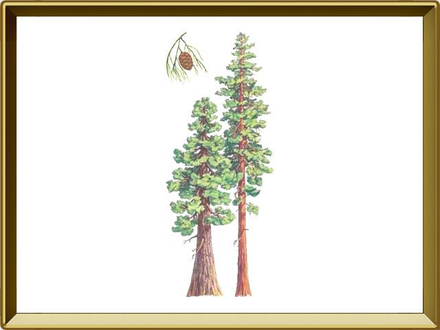 Секвойя — растение, фото в рамке №1