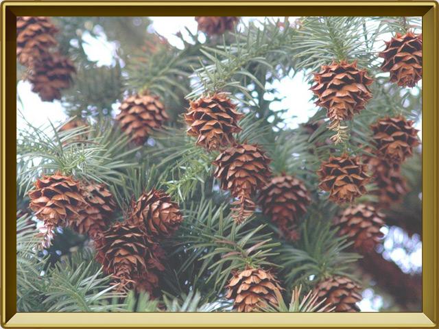 Секвойя — растение, фото в рамке №3