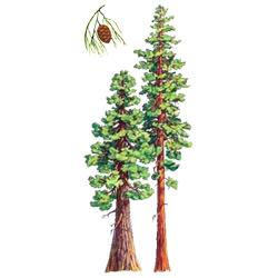 Секвойя — растение, картинка цветная