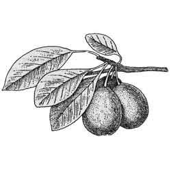 Слива — растение, картинка чёрно-белая
