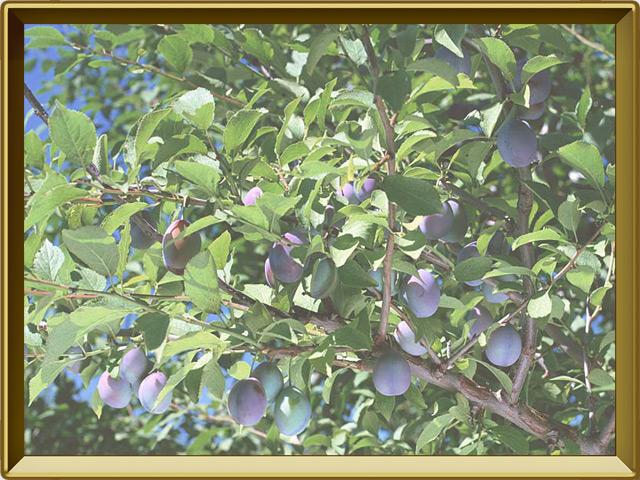 Слива — растение, фото в рамке №2