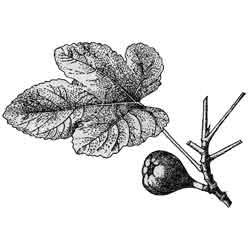 Смоковница — растение, картинка чёрно-белая