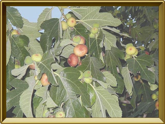 Смоковница — растение, фото в рамке №3