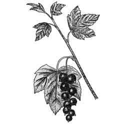 Смородина — растение, картинка чёрно-белая