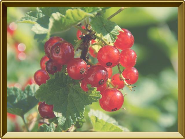 Смородина — растение, фото в рамке №3