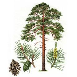Картинка дерево сосна