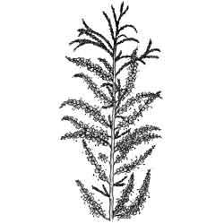 Тамариск — растение, картинка чёрно-белая