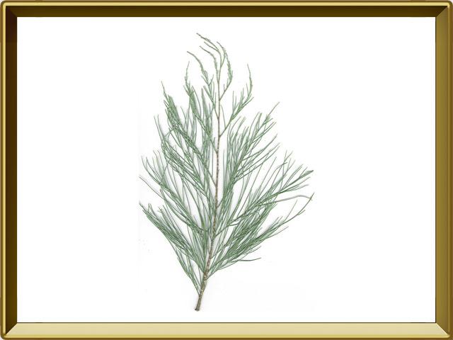 Тамариск — растение, фото в рамке №1