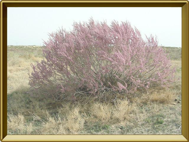 Тамариск — растение, фото в рамке №2