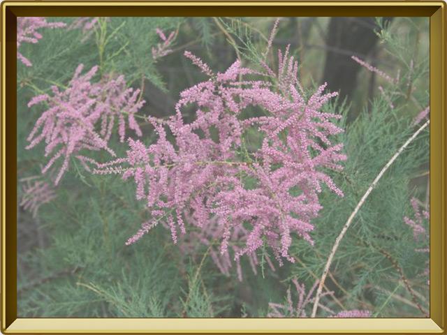 Тамариск — растение, фото в рамке №3