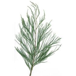 Тамариск — растение, картинка цветная