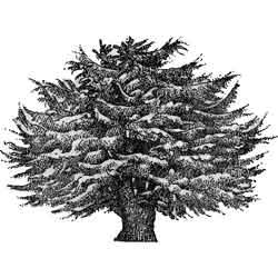 Тисе — растение, картинка чёрно-белая