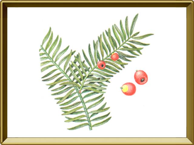 Тисе — растение, фото в рамке №1