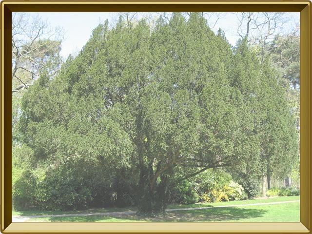 Тисе — растение, фото в рамке №2