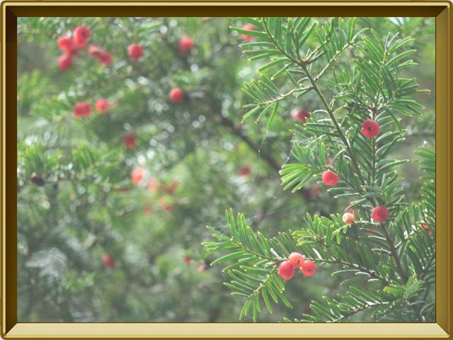 Тисе — растение, фото в рамке №3