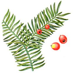 Тисе — растение, картинка цветная
