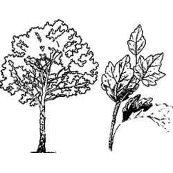 Тополь — растение, картинка чёрно-белая