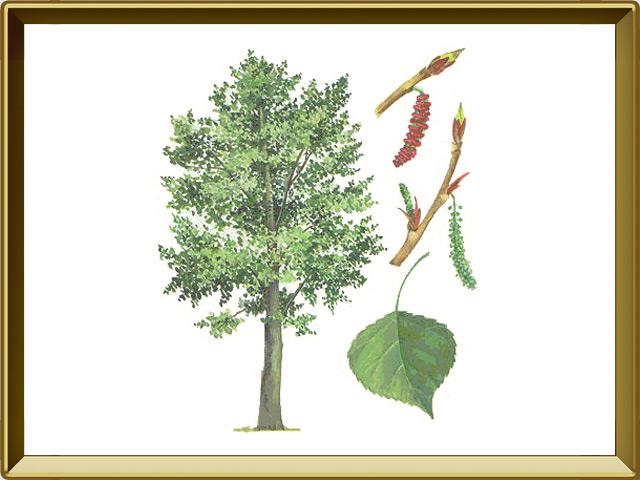 Тополь — растение, фото в рамке №1