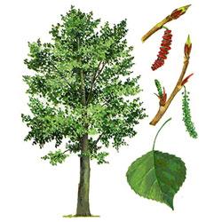 Тополь — растение, картинка цветная