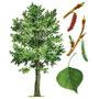 Тополь — растение