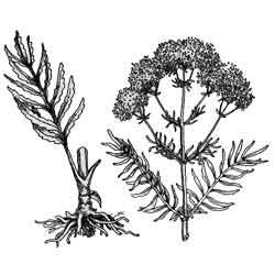 Валериана — растение, картинка чёрно-белая