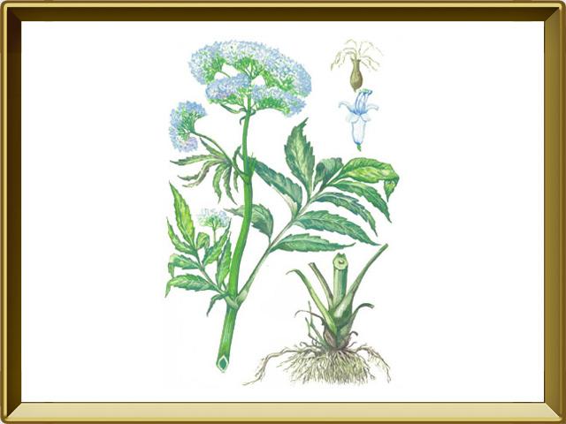 Валериана — растение, фото в рамке №1