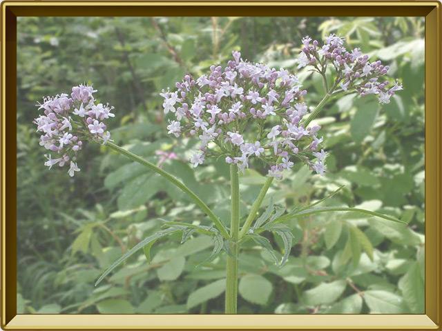 Валериана — растение, фото в рамке №2