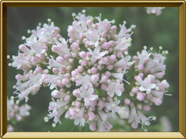 Валериана — растение, фото в рамке №3