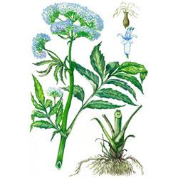 Валериана — растение, картинка цветная