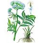 Валериана — растение