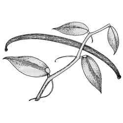 Ваниль — растение, картинка чёрно-белая