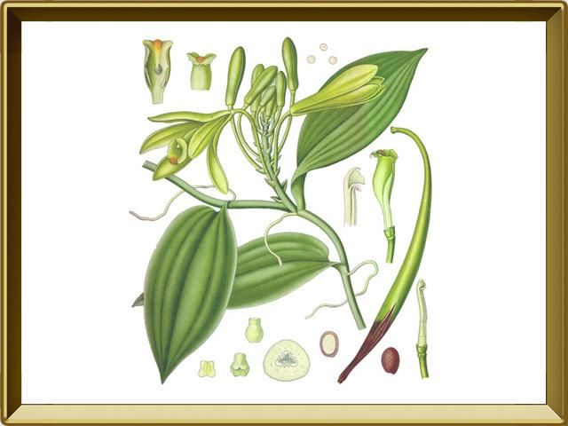 Ваниль — растение, фото в рамке №1