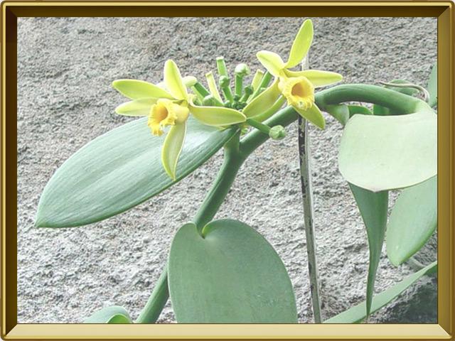 Ваниль — растение, фото в рамке №2