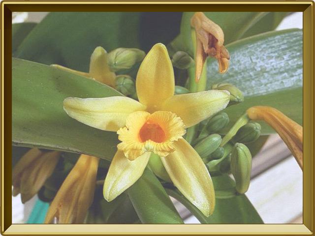 Ваниль — растение, фото в рамке №3