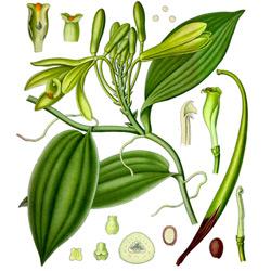 Ваниль — растение, картинка цветная