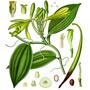 Ваниль — растение