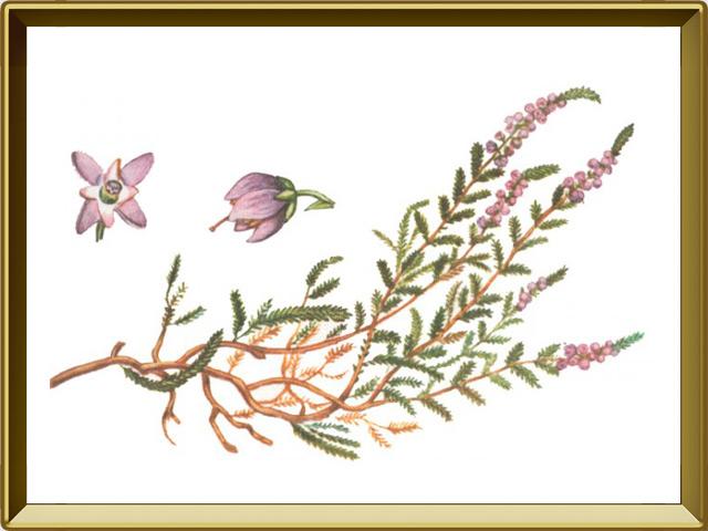 Вереск — растение, фото в рамке №1